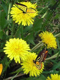 Одуванчики Flowers Gif, Butterfly Flowers, Beautiful Butterflies, Beautiful Flowers, Butterfly Wallpaper, I Wallpaper, Gif Photo, Photo Art, Nature Images