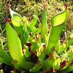 Plante carnivore image Heliamphora heterodoxa