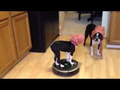You Won't Be Able to Stop Watching This Dog Riding a Roomba