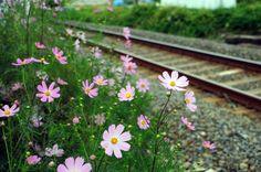 [경남/하동] 코스모스 가득한 하동 북천역의 가을 : 네이버 블로그 Spring Photography, Flowers Nature, Calla Lily, My Flower, Ecology, Countryside, Watercolor, Drawings, Garden