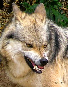 snarling wolf shape