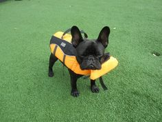 """Ok, I put this thing on, now take me to the river"", French Bulldog in a Life Jacket"