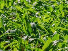 Jak zhotovit pesto z medvědího česneku Parsley, Herbs, Plants, Herb, Plant, Planets, Medicinal Plants