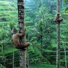 Local men climbing up the coconut trees over rice terraces in Bali