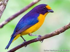 The violaceous euphonia (Euphonia violacea) is a small passerine bird in the true finch family. It is a resident breeder from Trinidad, Tobago and eastern Venezuela south to Paraguay and northeastern Argentina.
