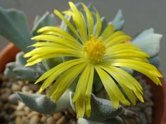 Schwantesia borcherdsii is a newly rediscovered Mesemb with interestingly shaped and textured leaves. Like other Lithops related genera...
