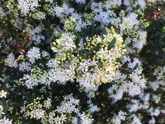 Image result for Leionema lamprophyllum 'Green Screen' Plants, Australian Native Plants, Green, Native Plants, Garden