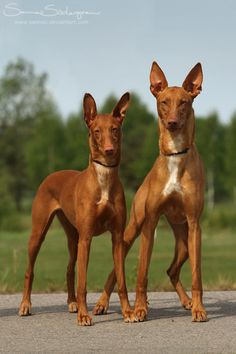 Lebrel faraónico (Pharaoh Hound) - Es una raza de perro de la familia de los podencos autóctona de Malta. Es la raza nacional maltesa, y se conoce en maltés como Kelb-tal Fenek (perro conejero). [Wikipedia]