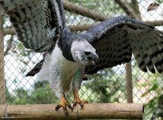 Aguila Harpia