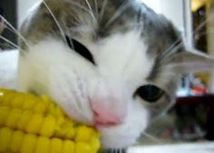 Moar Butter: A Cornucopia Of Cats Eating Corn