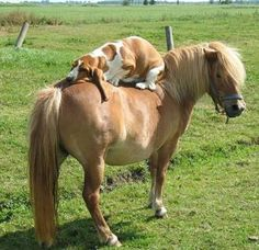 A basset on a pony. ❤