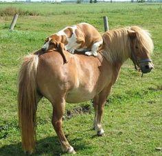 A basset on a pony. ❤