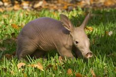 Frolicking in grass! That's great! | 16 Reasons Why Baby Aardvarks Are The Most Conflicting Animals Ever