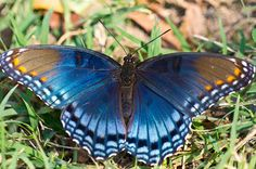 Red Spotted Purple Butterfly | Butterflies: Red Spotted Purple Butterfly | Hike Our Planet - Lee ...