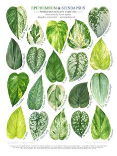 Gute webseiten # Zimmerpflanzen Calathea The Garden Gnomes Article Body: The Garden Gnome is not jus House Plants Decor, Plant Decor, Tropical House Plants, Plante Pothos, Plantas Indoor, Decoration Plante, Best Indoor Plants, Indoor House Plants, Ivy Plant Indoor