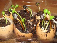 Iniciar sementes em cascas de ovo