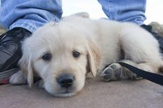 Don't make me walk. I won't do it.   Community Post: 61 Times Golden Retrievers Were So Adorable You Wanted To Cry