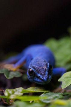 Blue Anole, by Jeremy Giddens