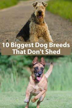 10 Biggest Dog Breeds That Don't Shed This lists includes the best low shedding large dog breeds that shed minimally, perfects for allergic people. Best Large Dog Breeds, Dog Breeds Little, Giant Dog Breeds, Giant Dogs, Big Dogs, Large Dogs, Dogs And Puppies, Maltese Dogs, Small Dogs