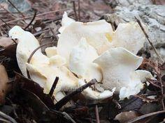 Albatrellus ovinus - a typically tangled group -Albatrellus ovinus (Schaeff. Edible Mushrooms, Stuffed Mushrooms, Weird And Wonderful, Fungi, Botany, Tangled, Lamb, Group, Plants