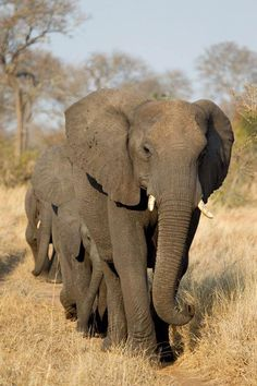 ruaha national park | If you are looking for elephants, Ruaha National Park is the place to ...