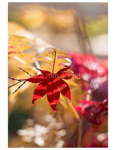 Japanese Maple and Fern Fall Color Metallic by SierraMtnArtPrints