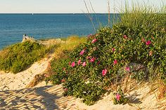 Nantucket. Beach blossoms.