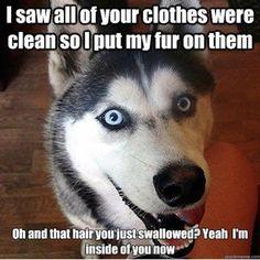 Siberian Husky Dogs 35 Best Siberian Husky Memes of All Time Funny Husky Meme, Dog Quotes Funny, Funny Animal Memes, Cute Funny Animals, Funny Dogs, Funny Puppies, Lab Puppies, Animal Humor, Funny Memes