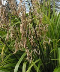 Wharariki pods get dry and papery with age. Propagation, Fungi, Plants, Animals, Image, Animales, Mushrooms, Animaux, Planters