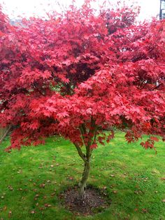 Our beautiful Maple tree ~ fall delight