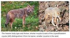 From the eastern coyote section of my website - the visual difference between eastern coyotes, or coywolves, and western coyotes.