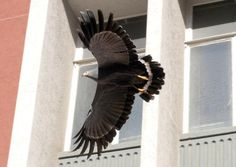An African Harrier-hawk visited Cape Town much to the surprise of passers-by - and pigeons, writes John Yeld. Bald Eagle, African, Urban, News
