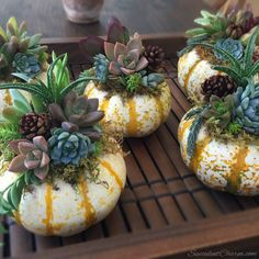 Living Succulent Pumpkin Arrangement // Small by SucculentCharm