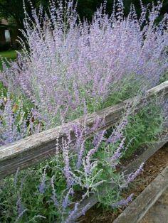Russian Sage - Little Spire Flowering Plants, Garden Plants, Flower Gardening, Planting Flowers, Russian Sage, Xeriscaping, Green Lawn, Flowers Perennials, Door Ideas