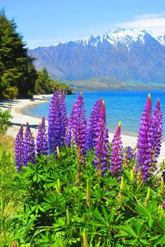 Near Queenstown, South Island, New Zealand. Lupins are a common sight in this area in summer - come in a range of colours - love the sheltered bay beyond, and the view.