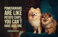 14 Funny Pomeranian Memes That Will Make You Cry Laughing & PetPress 14 Funny Pomeranian Memes That Will Make You Cry Laughing & PetPress Source& The post 14 Funny Pomeranian Memes That Will Make You Cry Laughing Pomeranian Memes, Cute Pomeranian, Animal Memes, Funny Animals, Cute Animals, Pom Dog, Siberian Husky Puppies, Siberian Huskies, Thing 1