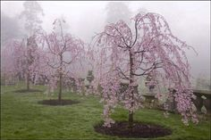 weeping cherry trees in bloom at old Westbury gardens