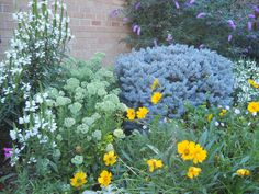 coreopsis, obedient plant, blue globe spruce, autumn joy sedum, butterfly bush and a stray red rocks penstemon. This sedum signals the beginning of the end of summer in the garden. Picket Fence Garden, Garden Fencing, Obedient Plant, Butterfly Bush, End Of Summer, Globe, Landscaping, Rocks, Yard