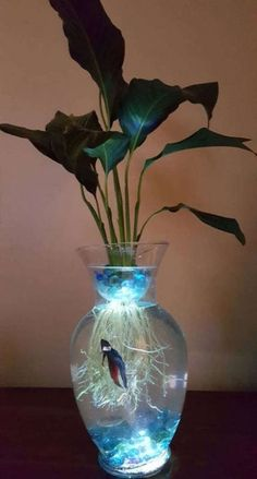 This Beta Fish Tank with live Peace lily Lighted Symbiotic and is just one of the custom, handmade pieces you'll find in our pet storage shops. Indoor Water Garden, Indoor Plants, Betta Fish Tank, Fish Tanks, Plant Fish Tank, Amazing Aquariums, Aquaponics Diy, Aquaponics Greenhouse, Hydroponic Fish Tank