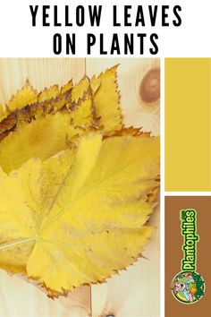 Yellow leaves are a very common problem many gardeners and houseplant enthusiasts face. Here's what you can do about it. #plantophiles #yellowleavesonplants #yellowleavesonplantshowtofix Outdoor Plants, Air Plants, Yellow Leaves On Plants, Get Rid Of Aphids, Organic Compost, Build A Greenhouse, Plant Diseases, Powdery Mildew, Replant