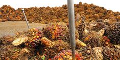 How did palm oil become such a problem — and what can we do about it? | Ensia