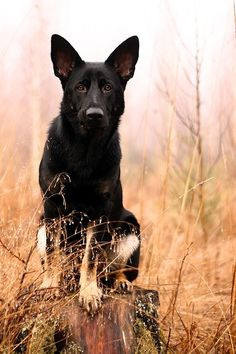 Stunning German Shepherd Photo.  Pet Photography ♥ Puppy| Dog | Fun photo session Ideas | Props | Portraits