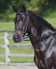 Popeye (FS Pour l'Amour - Night Star I) The Sport pony you've been looking for!  Popeye has competed through 4th Level Dressage and Novice Level Eventing #HTFstallion #superpony #ponypower