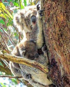 Great Ocean Road : Australia #koala #koalas #babykoala #family #baby #wildlife #tree #eucalyptus #australia #australie #nationalpark #greatoceanroad #melbourne #oceanroad #wild #freedom #protectwildlife #beautifull #trip #travel #traveller #discover #discovery #natgeo #geo #au #lonelyplanet by marjorie_flores_cavanna