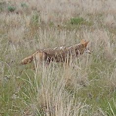 Who's hiding in the tall grass?  #coyote #nature #travel