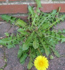 Dandelion Weeds In Georgia Garden Plants Vegetable Lawn And