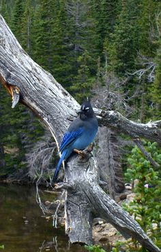 Bluejay, Rocky Mountain National Park. Colorado. different than our blue jays