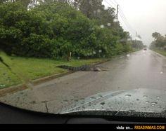 Vas tranquilamente con tu coche... y ves cruzar la carretera un cocodrilo.