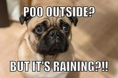 Poo outside? - Koala Funny - Funny Koala meme - - Poo outside? Koala Funny Funny Koala meme Poo outside? Koala Funny The post Poo outside? appeared first on Gag Dad. Pug Meme, Funny Dog Memes, Funny Animal Memes, Funny Animal Pictures, Funny Dogs, Cute Pug Pictures, Funny Fails, Cute Pug Puppies, Black Pug Puppies
