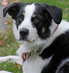 Black Lab Border Collie Mix
